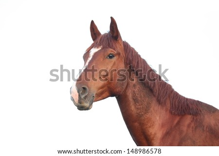 Chestnut horse portrait isolated on white background - stock photo
