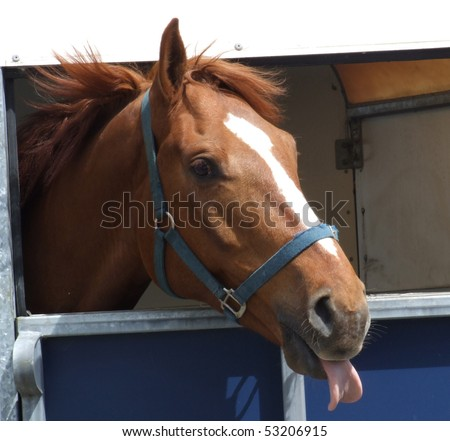 Chestnut horse sticking his tongue out at the camera - stock photo