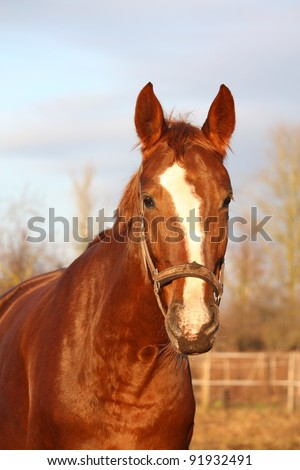 Chestnut horse with dirty nose