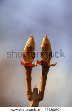chestnut - Leaves Buds - stock photo