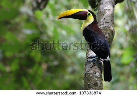 Chestnut-mandibled Toucan (Ramphastos swainsonii) at  Carara, Costa Rica. - stock photo
