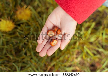 Chestnut on a children's palm on the background of autumn grass