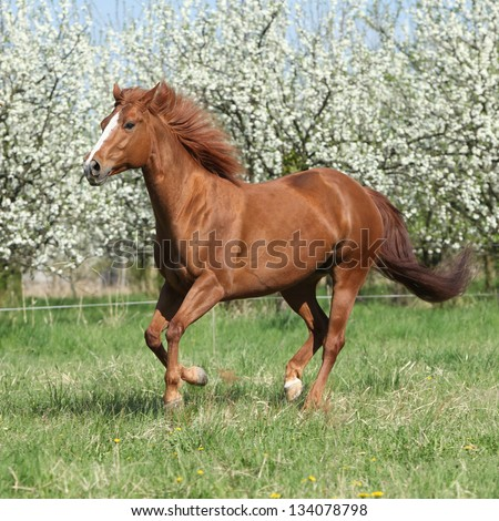 ERRP: Auditions Stock-photo-chestnut-quarter-horse-running-in-front-of-flowering-trees-in-spring-134078798