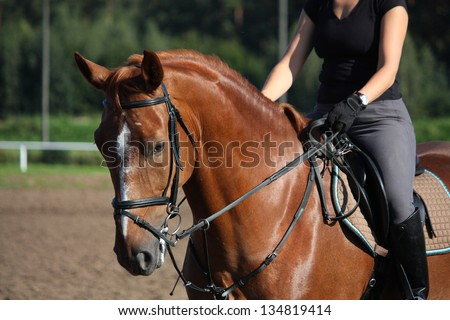 Chestnut sport horse portrait in summer with bridle - stock photo