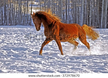 Chestnut Stallion showing off in snow covered meadow - stock photo