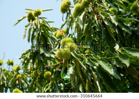 Chestnut Tree - stock photo