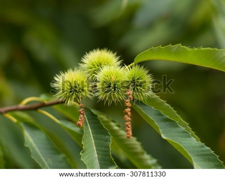 Chestnut tree close up with green unriped chestnuts and leaves in the summer in the park in Czech republic - stock photo