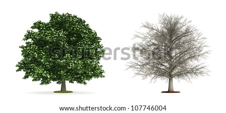 Chestnut Tree. High resolution image isolated on white. More trees are available on our portfolio.