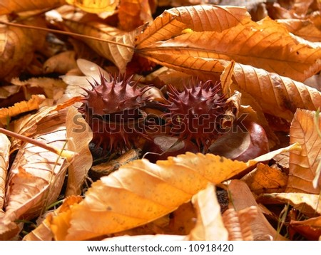 Chestnuts among leaves - stock photo
