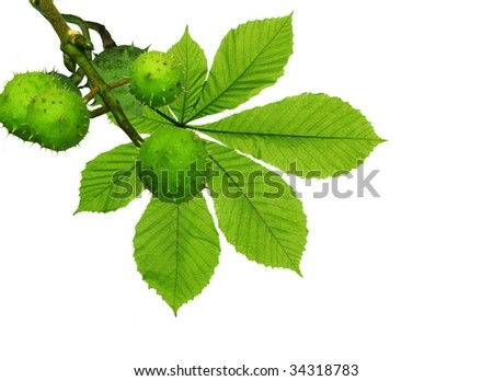 chestnuts and leaf on white background
