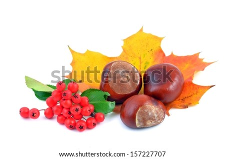 Chestnuts. Autumn leaves and chestnuts on white background. Chestnuts nuts. Chestnuts fruits. Chestnuts decoration. Chestnuts and leaves with copy space.chestnut with red autumn fruit.