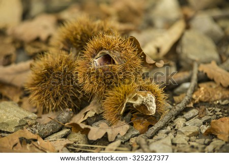 chestnuts autumn on leaf on forest background