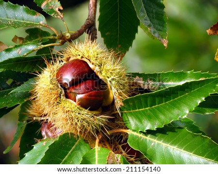 Chestnuts in huts on tree - stock photo