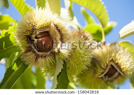 chestnuts on the tree - stock photo