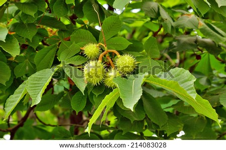 Chestnuts on tree branch - Aesculus hippocastanum fruits. - stock photo