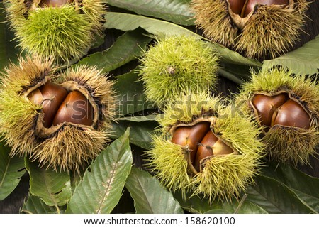 chestnuts with husk on many leaves