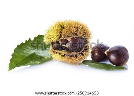 Chestnuts with leaves and its spiny burrs isolated on a white background a product of autumn - stock photo