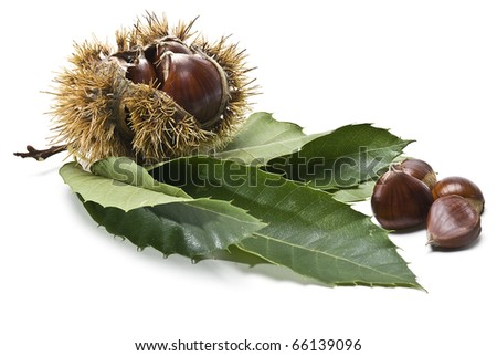 Chestnuts with urchins, branches and leaves isolated on a white background. - stock photo