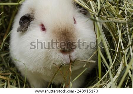 chewing himalayan guinea pig  - stock photo