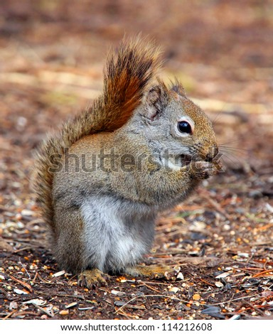 Chewing Squirrel - stock photo