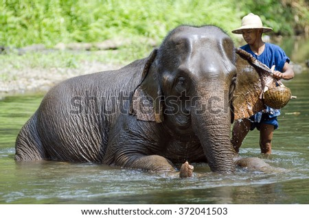 Chiang Mai, Thailand �¢?? April 23, 2014: A mahout bathes his elephant in a river outside Chiang Mai, Thailand on January April 23, 2014.