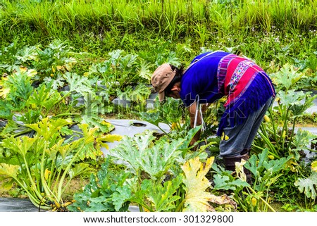 CHIANG MAI, THAILAND - JULY 23: Unidentified Akha tribe  Young girl,She grow Zucchini plants, vegetables lying on ground on Julyr 23, 2015. Chaing Mai, Thailand.  - stock photo