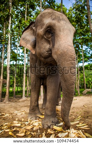 CHIANG MAI, THAILAND - June 16, 2012: Elephant eating corns of the ground with rice field in the background. - stock photo