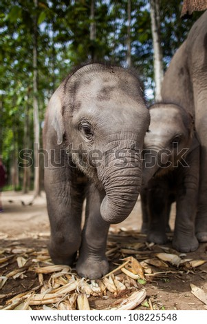Chiang Mai, THAILAND - June 16, 2012: Two baby elephants playing in grassland field.