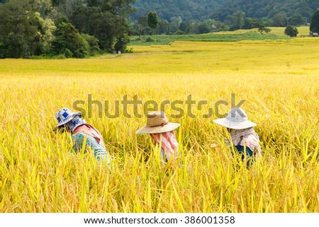 Chiang Mai, Thailand - November, 01, 2015 : Farmers are working in the harvest rice fields in northern thailand.Harvest November each year. Northern Thailand is rice only once a year. - stock photo