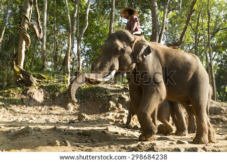 Chiang Mai, Thailand-October 26, 2014 : Elephant bathing in the river with them  unidentified mahout at elephant camp in the morning around fog