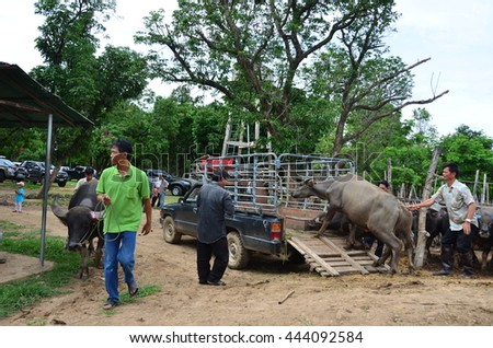CHIANG MAI THAILAND - SEPTEMBER 24 : A lot of buffalo and cow for sell on September 24,2013 at Chian mai Sanpatong cow and buffalo market Thailand