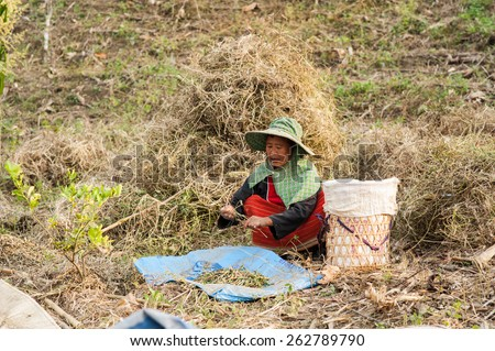CHIANGMAI,THAILAND - FEBRUARY 9, 2015: Unidentified Palaung farmers harvest red beans at their red bean plantation.Palaung people is a minority ethnic group living in northern Thailand