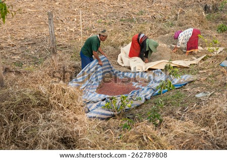 CHIANGMAI,THAILAND - FEBRUARY 9, 2015: Unidentified Palaung farmers harvest red beans at their red bean plantation.Palaung people is a minority ethnic group living in northern Thailand - stock photo