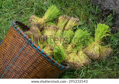 CHIANGMAI, THAILAND-09 JUL 2015:Rice sprouts(seedling) in basket before farming on the water.
