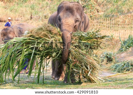 CHIANGMAI, THAILAND - MARCH 13, 2014 : Elephants  brings food to the camp after national Thai elephant day at Mae Sa elephant camp in Chiang Mai, Thailand on March 13, 2014.