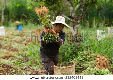CHIANGMAI,THAILAND - NOVEMBER 19, 2014: Unidentified Palaung farmer harvest peanuts at their peanut plantation.Palaung people is a minority ethnic group living in northern Thailand - stock photo