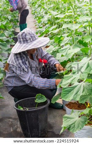 CHIANGMAI, THAILAND - October 09: An unidentified cutting branch cucumber in greenhouse on October 09, 2014 in San Pa Tong  District, Chiang Mai, Thailand.