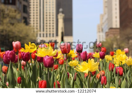 Chicago's Michigan Avenue with colorful spring tulips in bloom - stock photo