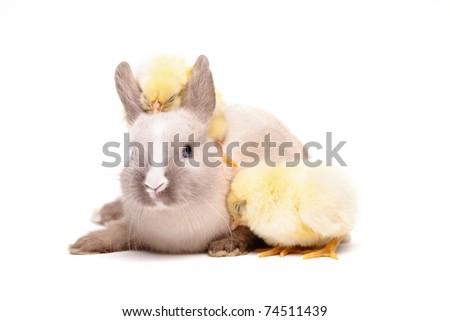Chick - stock photo