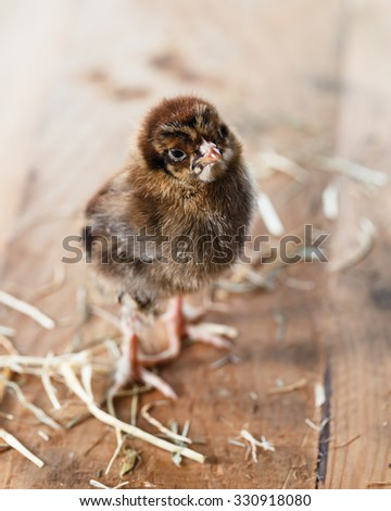 Chick, a few days old - stock photo