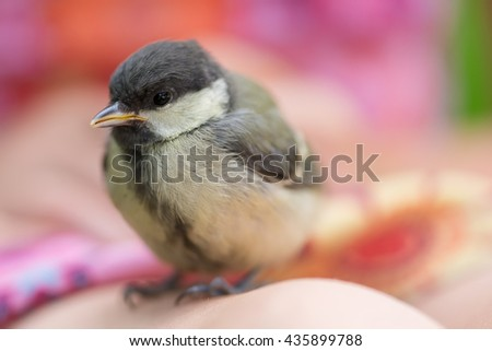 chick bird  at the girl - stock photo
