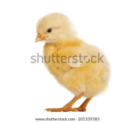Chick 8 days old, isolated on white