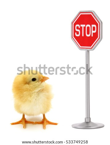 Chick looking in stop sign conceptual scene