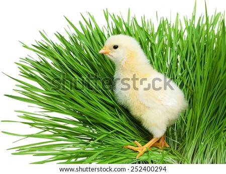 Chick on green grass - stock photo