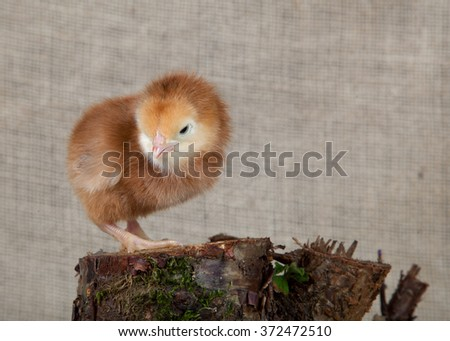 Chick on the background fabric