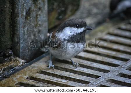 stock-photo-chickadee-on-a-metal-grate-5