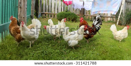 Chicken and cock on farm, shooting outdoors. Rustic theme. - stock photo