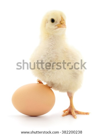 Chicken and egg isolated on white background.