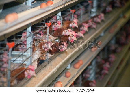 chicken at the poultry farm lay eggs - stock photo
