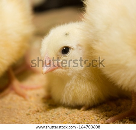 Chicken broilers. Poultry farm